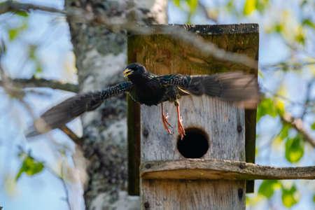 Starling bird ( Sturnus vulgaris ) flying off the wooden nest box in the tree. Bird feeding kids in wooden bird house hanging on the birch tree outdoors Banco de Imagens