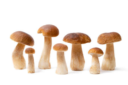 Group of brown cap Boletus Edulis isolated on white background. Edible mushrooms in the kitchen. Nobody