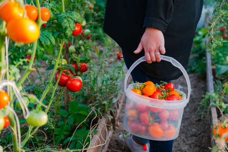 Close up of farmer hands harvesting red tomato in green house. Gardener picking ripe tomatoes into plastic bucket.