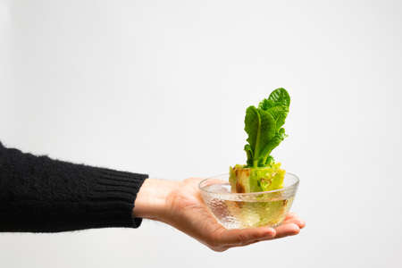 Hand holding glass bowl with regrowing chinese cabbage. Using vegetable scraps to grow organic vegetables at home.