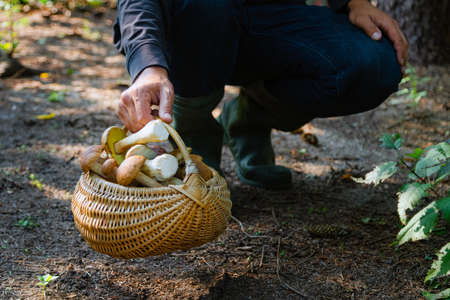 Hand holding Boltetus edulis next to full wicker basket of mushrooms in the forest. Mushroom harvesting season in the woods at fall.