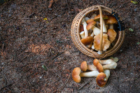 Full wicker basket of Boletus Edulis in the forest. Mushroom basket in the woods at fall. Nobody