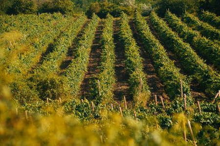 Photo of vine yard landscape during summer time, farming concept
