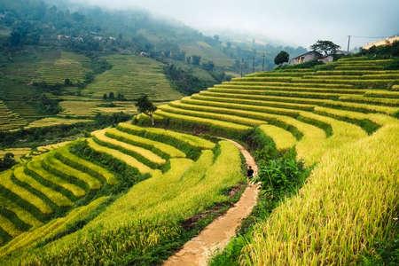 田んぼには、Mu 倉チャイ、YenBai、ベトナムの棚田。田んぼの準備ベトナム北西部で収穫 写真素材