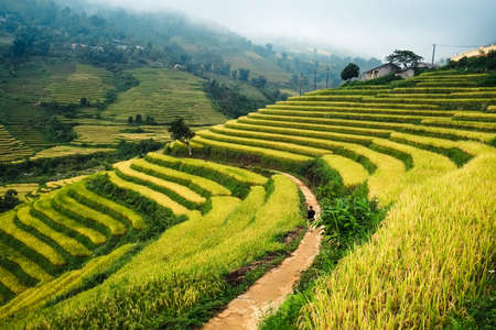 The landscape of Saigon: Ruộng lúa trên ruộng bậc thang Mù Cang Chải, Yên Bái, Việt Nam. Ruộng lúa chuẩn bị thu hoạch ở vùng Tây Bắc Việt Nam
