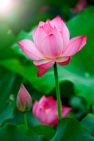 Lotus flower on sun