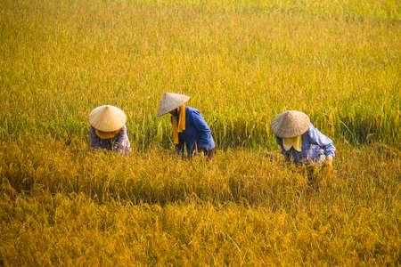 ベトナム農民収穫米早朝のフィールド。