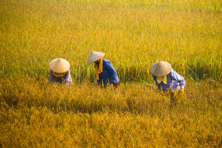 Vietnam farmer havesting rice on field in early morning.