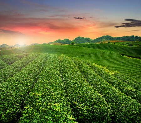 sencha tea: Beauty fresh green tea fields on Moc Chau print highland sunset.