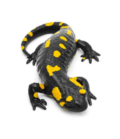 the amphibious: salamander