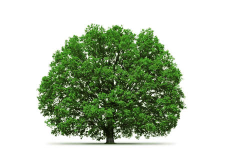 old oak isolated Stock Photo - 7546857