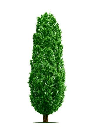 arbol alamo: �rbol de �lamo aislado  Foto de archivo