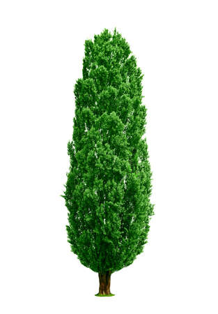 poplar: poplar tree isolated Stock Photo