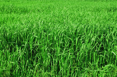 tall grass texture Stock Photo - 7546864