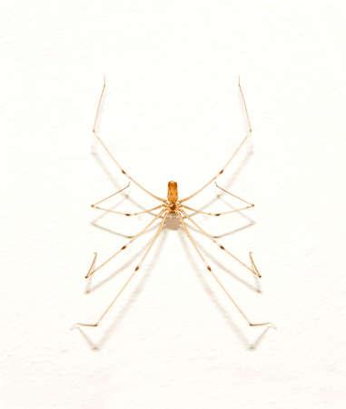 pholcidae: spider