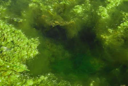 algas verdes: algas verdes en el agua del estanque Foto de archivo