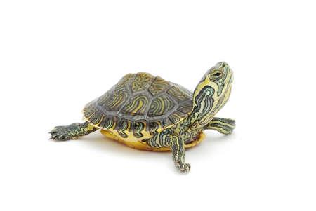 tortuga: peque�a tortuga en el fondo blanco Foto de archivo