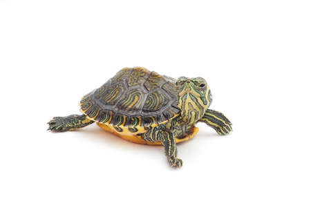 funny turtle on white background Stock Photo