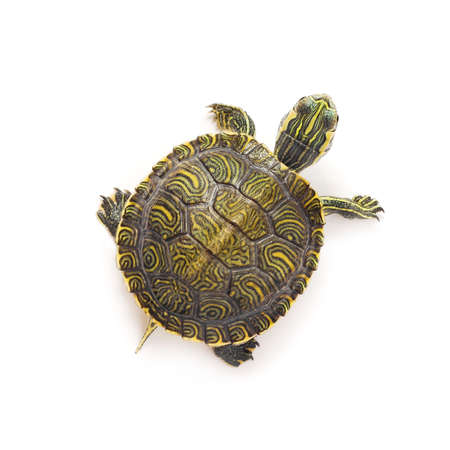 small turtle on white background photo