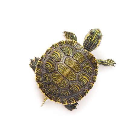 small turtle on white background photo