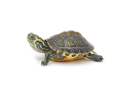 tortuga de agua en el fondo blanco Foto de archivo