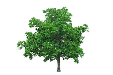 notenboom geïsoleerde op wit