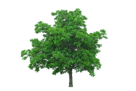 walnut tree isolated on white photo