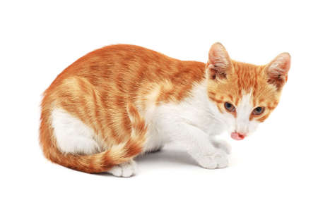 liking: cat liking chops on white