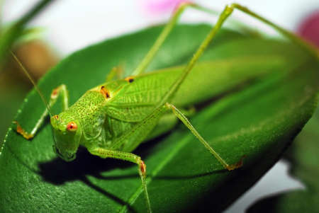 Tettigonia Viridissima, The great green bush cricket female photo
