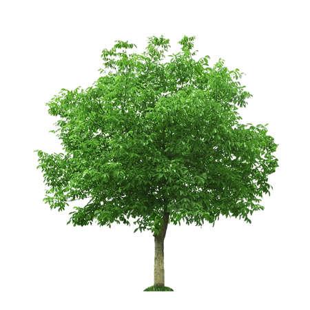 호두 나무에 격리 된 화이트 스톡 콘텐츠
