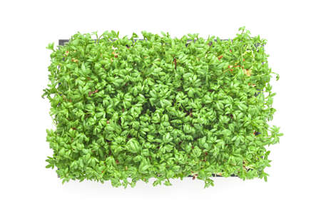 cress: cress sprouts isolated on white