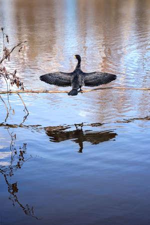 phalacrocoracidae: cormorant warming in the sun