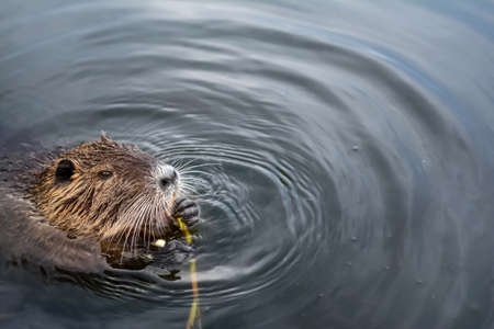 eurasian beaver eating in the water