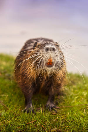 eurasian beaver on grass looking at camera