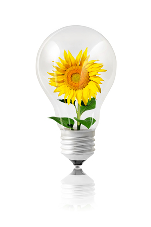Green energy concept with a sunflower growing inside a bulb isolated on white color