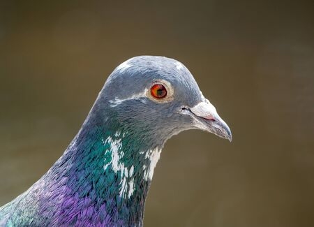 Portrait of a pigeon on brown background