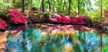 Beautiful red and pink flowers outdoors surrounding a pond in springtime in Isabella plantation of Richmond garden, London