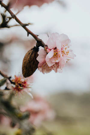 Detail of an almond tree with its almond and the flower in February