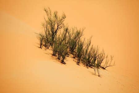 plantas del desierto: Las plantas del desierto que crece en una duna de arena, Liwa, Emiratos �rabes Unidos
