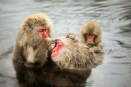 Snow monkeys grooming in a hot spring near Nagano, Japan
