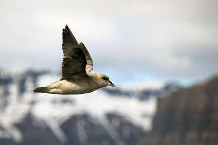 svalbard: Arctic bird in Svalbard, Norway Stock Photo