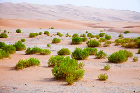 Surviving plants on the sand dunes of Liwa Oasis, United Arab Emirates Фото со стока