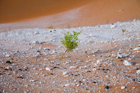 surviving: Surviving plants on the sand dunes of Liwa Oasis, United Arab Emirates Stock Photo