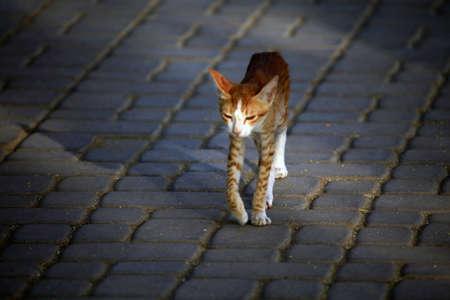 felid: Long legs, skinny Arabian orange cat Stock Photo