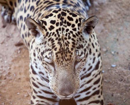 undomesticated: Leopard resting