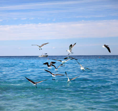 wingspan: Seagulls feeding on the water surface
