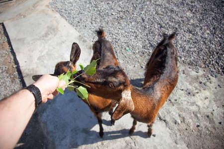 musandam: Hand feeding goats in Musandam, Oman