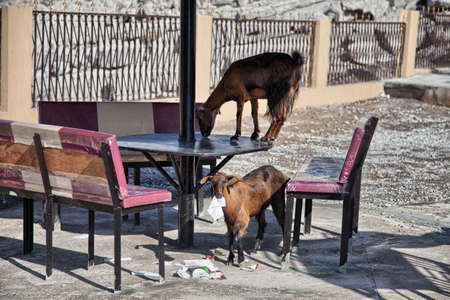 musandam: Goats eating papers and other trash, in Musandam, Oman Stock Photo
