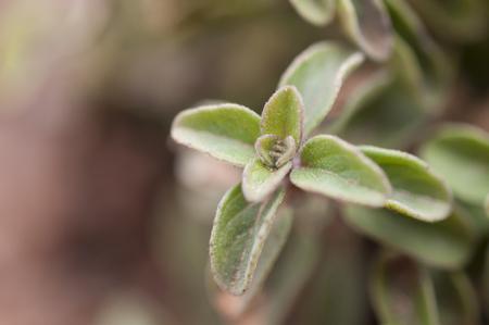Oregano macro shot on blurred background