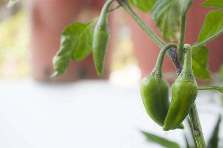 A plant of peppers of the Fish Pepper variety during fruit ripening. Blurred background, lots of space for text.